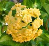 花卉系列:球蘭17.jpg