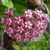 花卉系列:球蘭19.jpg