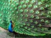 花鳥集:孔雀15.jpg