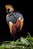 花鳥集:罕见的鸟-15東非冕鶴.jpg