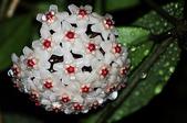 花卉系列:球蘭6.jpg