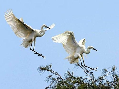 花鳥集:白鷺14.jpg