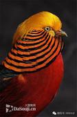 花鳥集:罕见的鸟-9中國紅腹錦雞,又名金雞.jpg