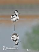 花鳥集:罕见的鸟-16反嘴鷸.jpg
