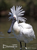 花鳥集:罕见的鸟-19皇家琵鷺.jpg