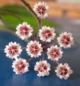 花卉系列:球蘭18.jpg