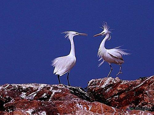 花鳥集:白鷺19.jpg