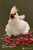花鳥集:罕见的鸟-13波西米亞連雀.jpg
