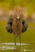 花鳥集:罕见的鸟-18紅鷺.jpg