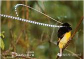 花鳥集:罕见的鸟-24薩克森風鳥.jpg