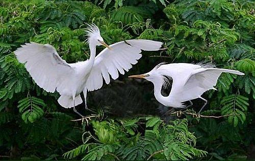 花鳥集:白鷺23.jpg