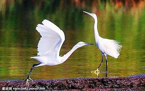 花鳥集:白鷺25.jpg