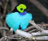 花鳥集:罕见的鸟-27仙唐加拉雀.jpg