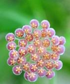 花卉系列:球蘭10.jpg