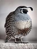 花鳥集:罕见的鸟-30珠頸斑鶉,是美國加州州鳥.jpg