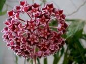花卉系列:球蘭13.jpg
