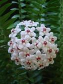 花卉系列:球蘭15.jpg