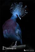 花鳥集:罕见的鸟-3藍鳳冠鳩.jpg