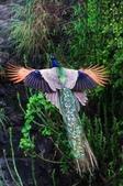 花鳥集:鳥中之王21.jpg