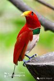 花鳥集:罕见的鸟-26王極樂鳥(雄性).jpg