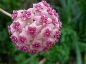 花卉系列:球蘭4.jpg