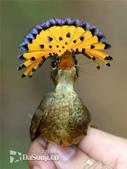 花鳥集:罕见的鸟-12皇家鶲.jpg