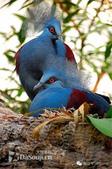 花鳥集:罕见的鸟-4藍鳳冠鳩雌性.jpg