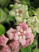 花卉系列:球蘭21.jpg