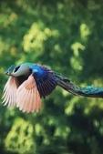 花鳥集:鳥中之王12.jpg