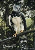 花鳥集:罕见的鸟-7巴拿馬國鳥:角雕.jpg