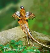 花鳥集:罕见的鸟-10白冠長尾雉.jpg
