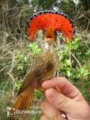 花鳥集:罕见的鸟-11北方皇家姬鶲.jpg