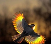 花鳥集:展翅飛姿10.jpg