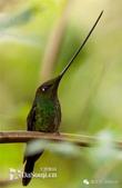 花鳥集:罕见的鸟-29刀嘴蜂鳥.jpg