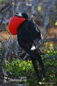 花鳥集:罕见的鸟-14大軍艦鳥.jpg