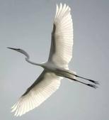 花鳥集:展翅飛姿9.jpg