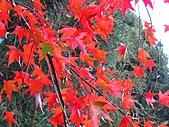 武陵楓正紅:IMG_1544.jpg