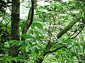 鐘萼木花盛開:IMG_4191.jpg
