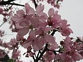 昭和櫻之美:IMG_3002.jpg