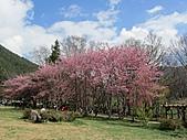春之花海-武陵賞櫻(2):IMG_2915.jpg