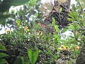 黃萼捲瓣蘭:IMG_1027.jpg