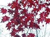 武陵楓正紅:IMG_1545.jpg