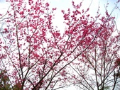 西羅岸賞櫻、美鹿山:IMG_0922.jpg