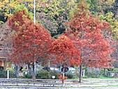 武陵楓正紅:IMG_1584.jpg