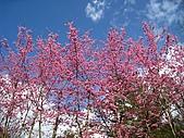 春之花海-武陵賞櫻(1):IMG_6542.jpg