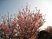 天元宮吉野櫻:IMG_6985.jpg