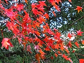 武陵楓正紅:IMG_1546.jpg