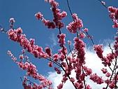 春之花海-武陵賞櫻(1):IMG_6532.jpg