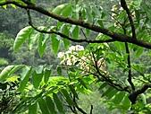 鐘萼木花盛開:IMG_4193.jpg