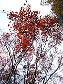 武陵楓正紅:IMG_1596.jpg